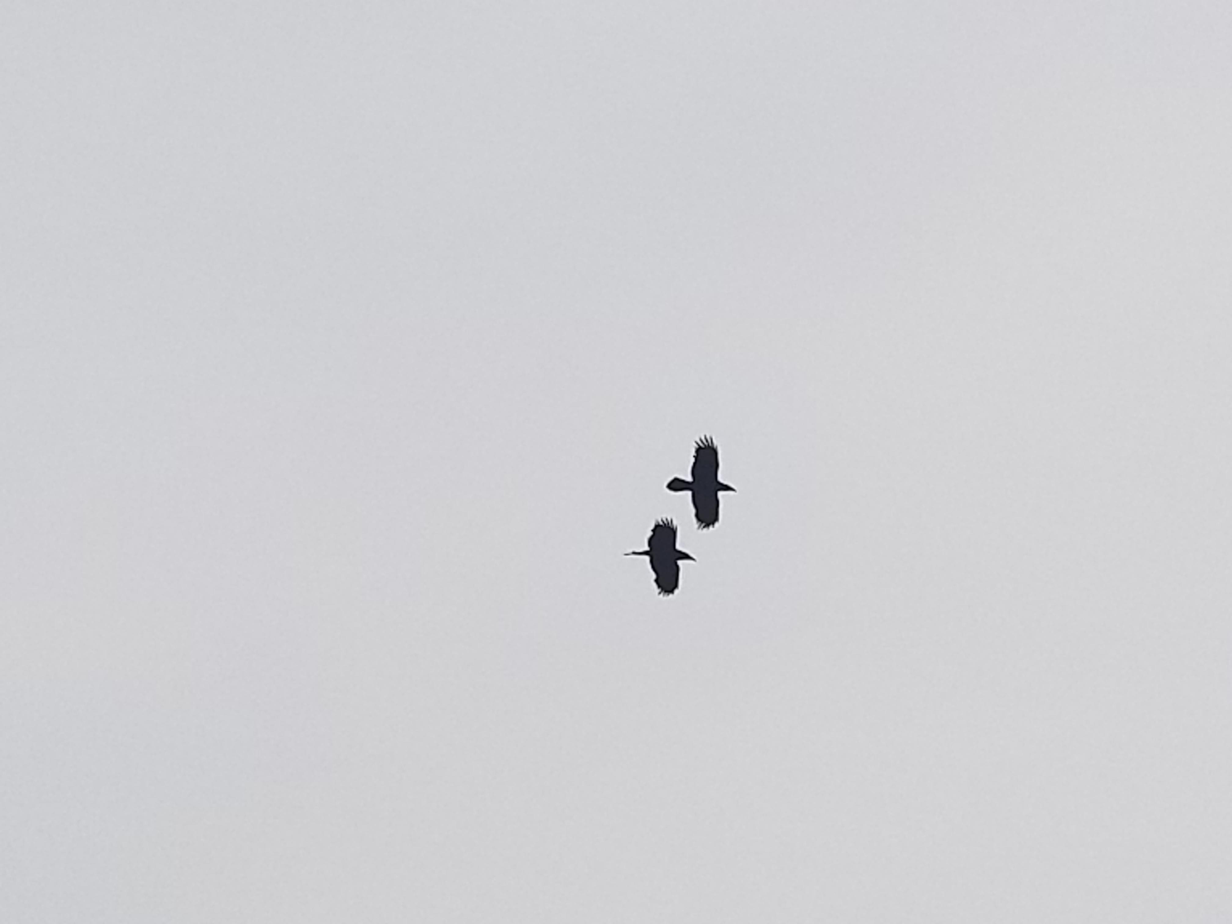 Ravens-out.jpg